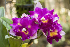Cattleya orchids. Stock Photography