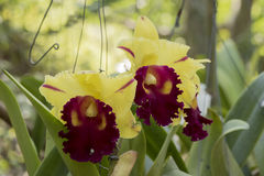 Cattleya orchids. Royalty Free Stock Image