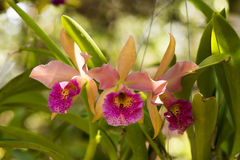 Cattleya orchids. Royalty Free Stock Photos
