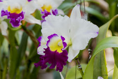 Cattleya orchids. Stock Image