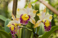 Cattleya orchids. Cattleya orchids, orchid flowers are the largest and most beautiful colors. Some are fragrant stock photos