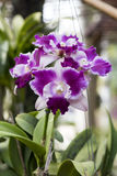 Cattleya orchids. Royalty Free Stock Images