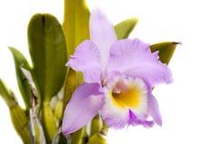 Cattleya orkidé Royaltyfri Fotografi