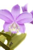 Cattleya orkidé Arkivfoto