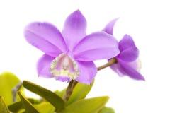 Cattleya orkidé Fotografering för Bildbyråer