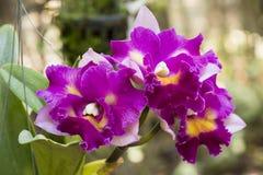 Cattleya orkidér arkivbild