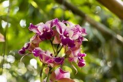 Cattleya orkidér royaltyfria foton