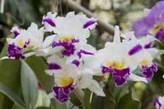 Cattleya orkidér arkivfoton