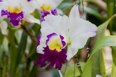 Cattleya orkidér fotografering för bildbyråer