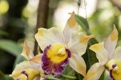 Cattleya orkidér royaltyfria bilder