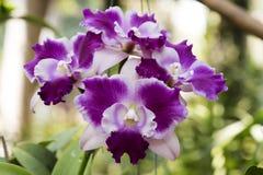 Cattleya orkidér arkivbilder