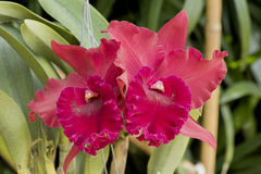 Cattleya orkidér arkivfoto