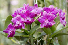 Cattleya orkidér royaltyfri bild