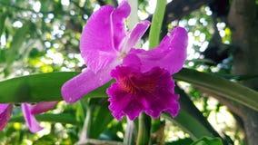 Cattleya, orquídea, flores Imagenes de archivo