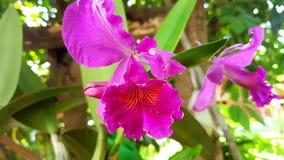 Cattleya, orquídea, flores Imagen de archivo libre de regalías
