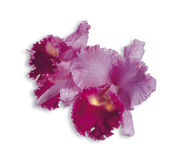 Cattleya pink. Beautiful Orchidea Cattleya pink on white background Stock Photography