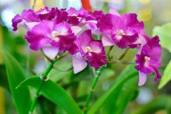 Cattleya pink flowers. Stock Photos