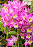 Cattleya pink orchid Stock Photo