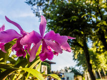 Cattleya pink orchid Royalty Free Stock Photos