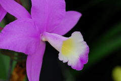 Cattleya Pink white orchid flower Stock Photos