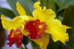 Cattleya red yellow orchid flower Stock Photos