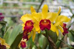 Cattleya red yellow orchid flowers. Cattleya red yellow orchid flower in bloom in spring Royalty Free Stock Image