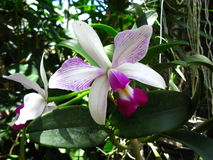 Cattleya violacea semi alba estriata. This orchid is a species that occurs in the north of South America, especially in Brazil and Venezuela. In the picture a Royalty Free Stock Image