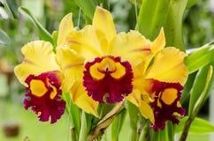 Cattleya yellow Royalty Free Stock Photos