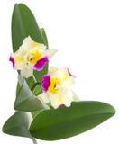 cattleyablomman blommar orchidorchids Arkivfoton
