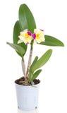 cattleyablomman blommar orchidorchids Royaltyfri Fotografi