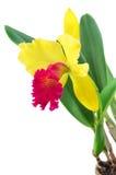 Cattleyaorchidee op een witte achtergrond wordt geïsoleerd die royalty-vrije stock fotografie
