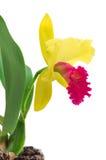 Cattleyaorchidee op een witte achtergrond wordt geïsoleerd die stock foto