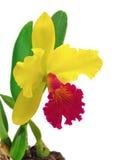 Cattleyaorchidee op een witte achtergrond wordt geïsoleerd die stock afbeelding