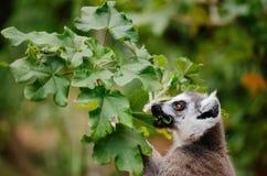 Cattta delle lemure, lemure catta, alimentantesi le foglie del decaryi di Uncarina Fotografie Stock Libere da Diritti