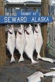 Cattura dei pesci freschi fotografia stock libera da diritti