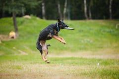 Cattura del cane pastore del Frisbee Fotografia Stock