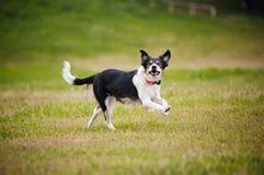 Cattura del collie di bordo del cane del Frisbee Immagine Stock Libera da Diritti