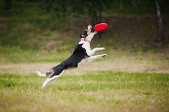 Cattura del collie di bordo del cane del Frisbee Immagini Stock