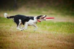 Cattura del collie di bordo del cane del Frisbee Fotografie Stock