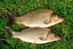 Cattura della carpa dei pesci d'acqua dolce in erba Fotografia Stock