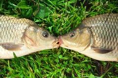 Cattura della carpa dei pesci d'acqua dolce in terra dell'erba verde Fotografia Stock Libera da Diritti