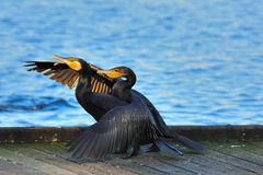 Cattura due a tango - piccoli Cormorants neri Immagini Stock Libere da Diritti
