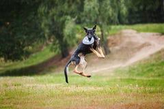 Cattura nera del cane pastore del Frisbee Immagine Stock Libera da Diritti