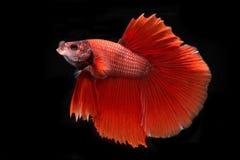 Catturi il momento commovente del pesce siamese rosso di combattimento isolato Fotografia Stock Libera da Diritti