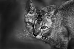 Catty eyes Stock Photos