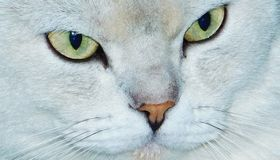 Catty Face Stock Photography