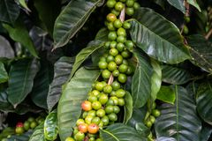 Caturra coffee beans bunched on branch; leaves in background. On Hawaii`s Big Island. Caturra coffee beans bunched together on a single branch, with green leaves royalty free stock images