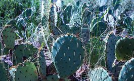 Catus plant blooms in Texas stock image