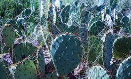 Catus roślina kwitnie w Teksas obraz stock