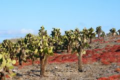 Catus on the South Isla Plaza, Galapagos Royalty Free Stock Photo